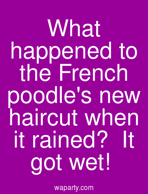 What happened to the French poodles new haircut when it rained?  It got wet!