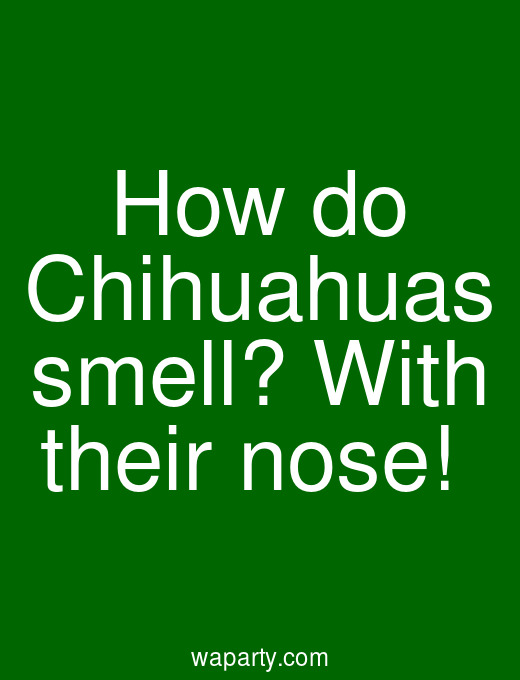 How do Chihuahuas smell? With their nose!