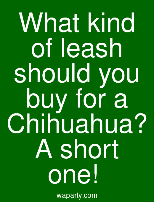 What kind of leash should you buy for a Chihuahua? A short one!