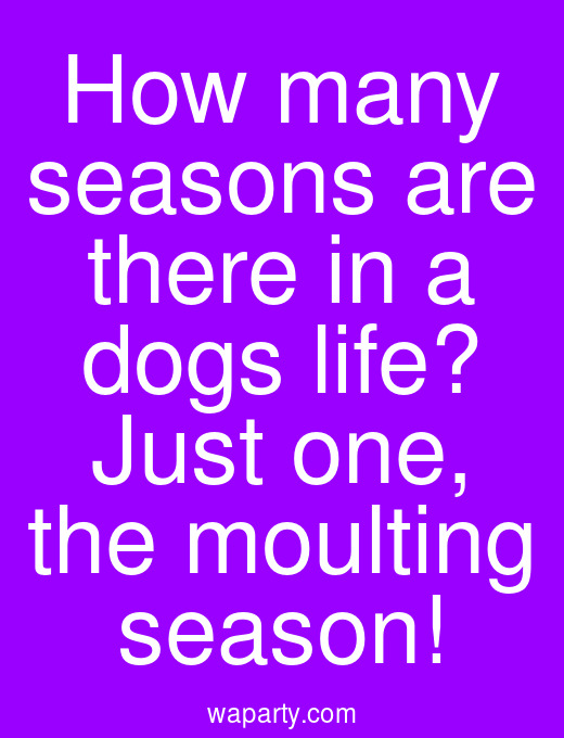 How many seasons are there in a dogs life? Just one, the moulting season!