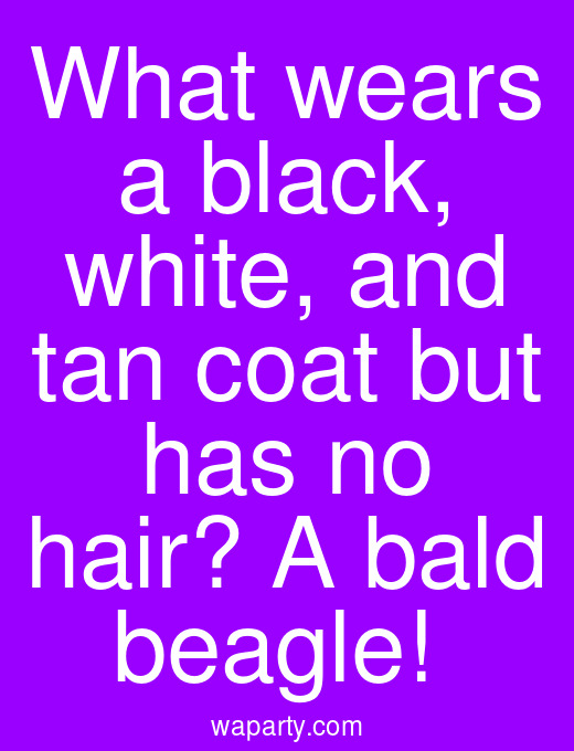 What wears a black, white, and tan coat but has no hair? A bald beagle!