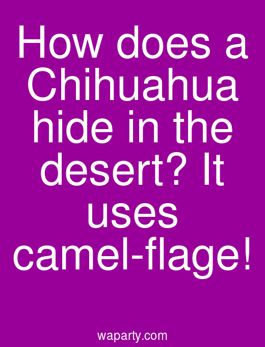 How does a Chihuahua hide in the desert? It uses camel-flage!