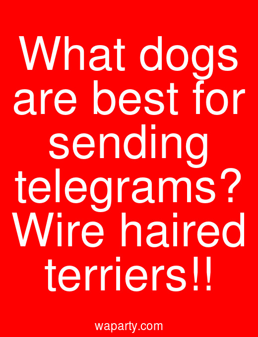 What dogs are best for sending telegrams? Wire haired terriers!!