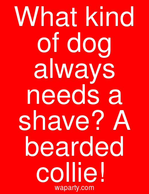 What kind of dog always needs a shave? A bearded collie!