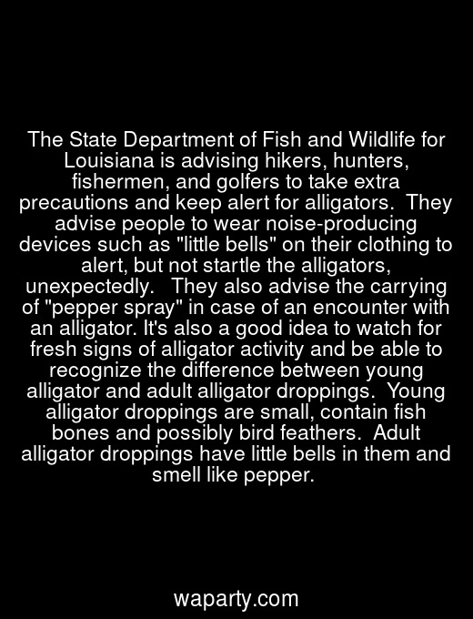 The State Department of Fish and Wildlife for Louisiana is advising hikers, hunters, fishermen, and golfers to take extra precautions and keep alert for alligators.  They advise people to wear noise-producing devices such as little bells on their clothing to alert, but not startle the alligators, unexpectedly.   They also advise the carrying of pepper spray in case of an encounter with an alligator. Its also a good idea to watch for fresh signs of alligator activity and be able to recognize the difference between young alligator and adult alligator droppings.  Young alligator droppings are small, contain fish bones and possibly bird feathers.  Adult alligator droppings have little bells in them and smell like pepper.