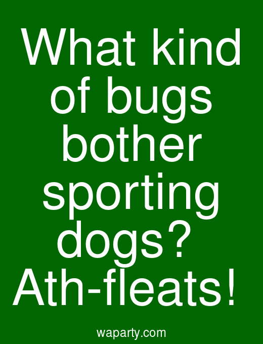 What kind of bugs bother sporting dogs?  Ath-fleats!