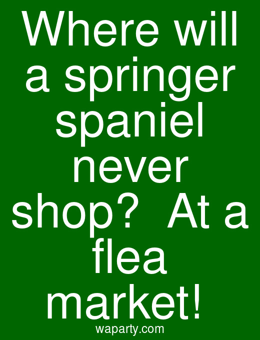 Where will a springer spaniel never shop?  At a flea market!
