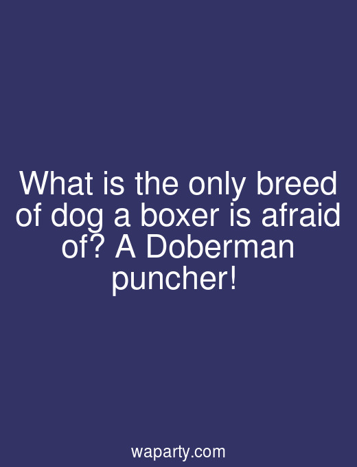What is the only breed of dog a boxer is afraid of? A Doberman puncher!