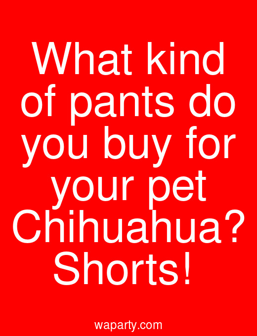 What kind of pants do you buy for your pet Chihuahua? Shorts!
