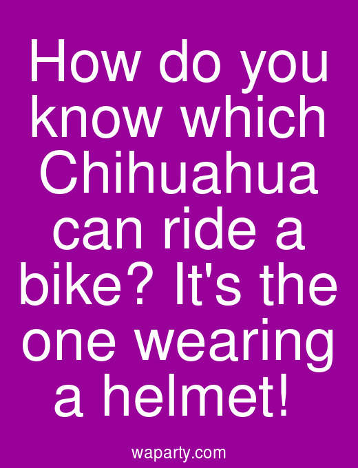 How do you know which Chihuahua can ride a bike? Its the one wearing a helmet!