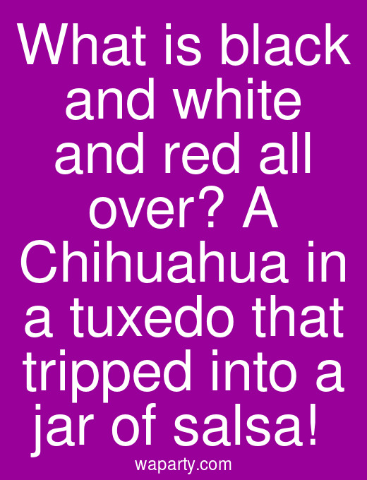 What is black and white and red all over? A Chihuahua in a tuxedo that tripped into a jar of salsa!