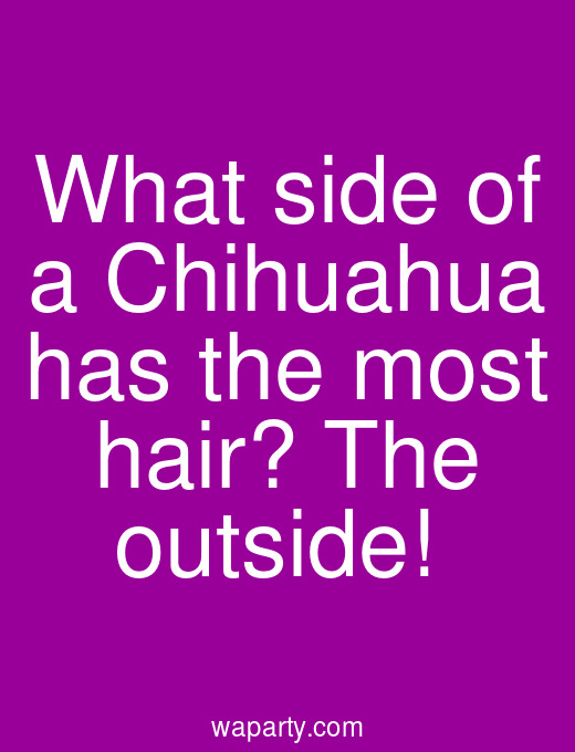 What side of a Chihuahua has the most hair? The outside!