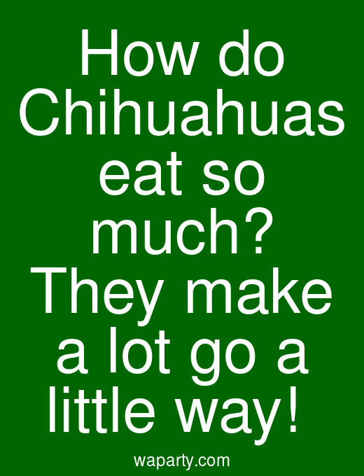 How do Chihuahuas eat so much? They make a lot go a little way!