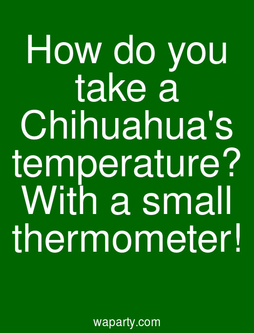 How do you take a Chihuahuas temperature? With a small thermometer!