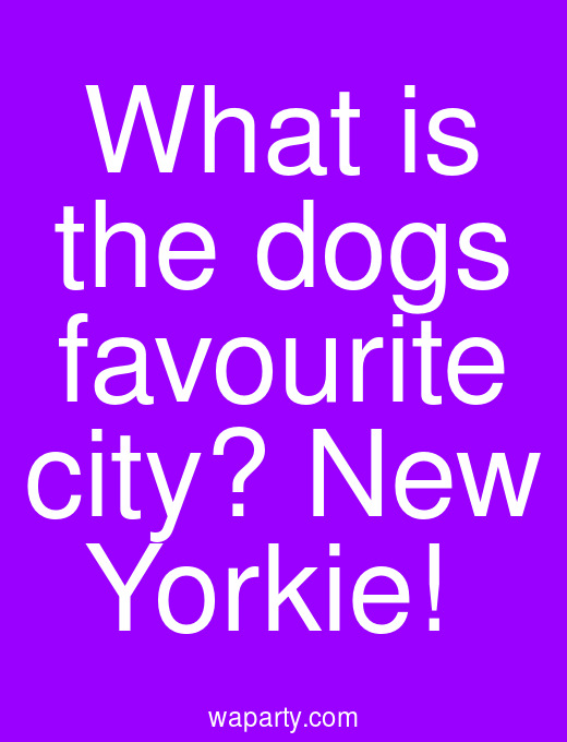 What is the dogs favourite city? New Yorkie!