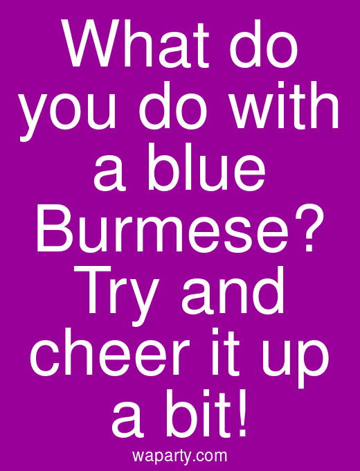 What do you do with a blue Burmese? Try and cheer it up a bit!