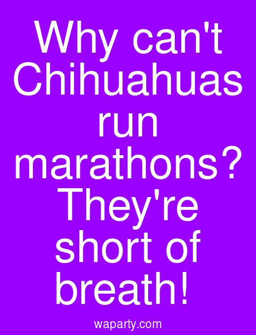 Why cant Chihuahuas run marathons? Theyre short of breath!
